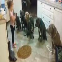 4 yaşındaki korkusuz çocuk 6 aç pitbullu böyle besledi!