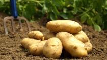 İsveç'te turfanda patatesin kilosu 600 liraya satıldı, krala da gönderilecek