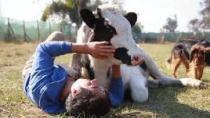 Dünyanın en hassas hayvanlarından inekler ile ilgili az bilinen 10 gerçek